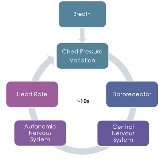 Breathing Cycle Heart Rate Variability RSA Coherence Cardiorespiratory
